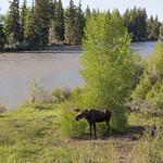 Moose on the snake river