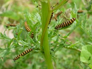 Cinnabar moth caterpillars on ragwort   by curiouscuriouser