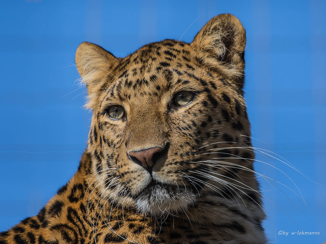 Leoparden Kater