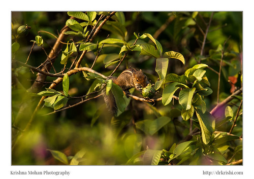 asia belvai butterflypark chordata dakshinakannada funambulus funambuluspalmarum india indianpalmsquirrel karnataka mammalia rodentia sammilanshettybutterflypark sciuridae tamronsp150600mmf563divcusdg2 tamronsp150600mmf563divcusdg2a022 threestripedpalmsquirrel lensreview