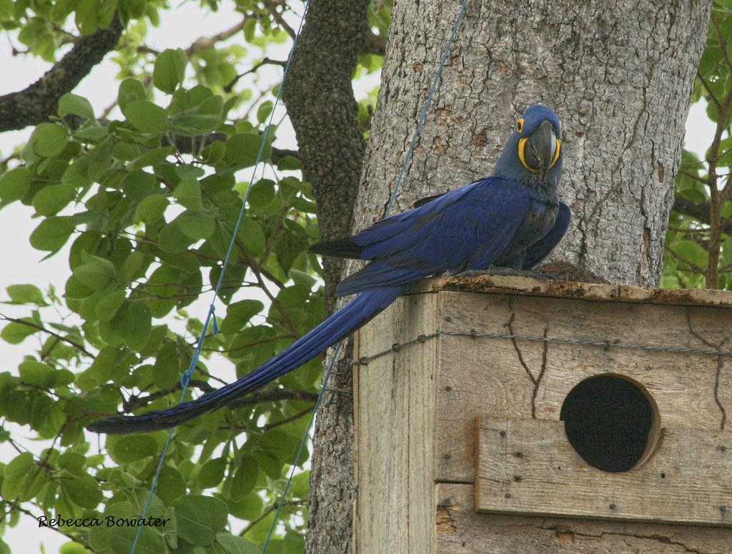 Hyacinth Macaw on nesting box