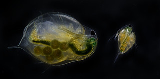Daphnia magna, vannlopper | by NTNU, Faculty of Natural Sciences