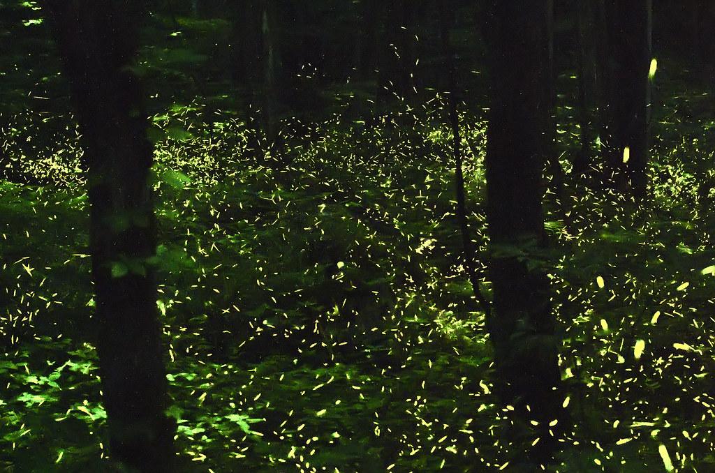 Kunang-kunang kawin serentak di Great Smoky Mountains National Park.