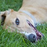 Greyhound Adventures at Lake Waban, Wellesley MA, June 29th 2014