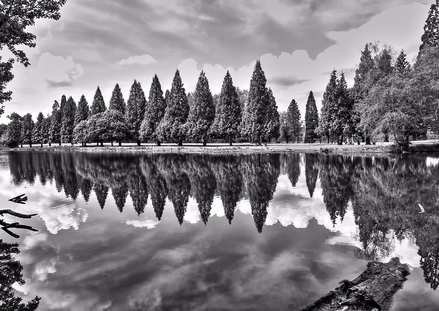 Pines with Reflection