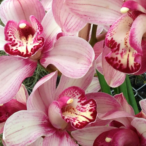 pink white orchid orchidfarm