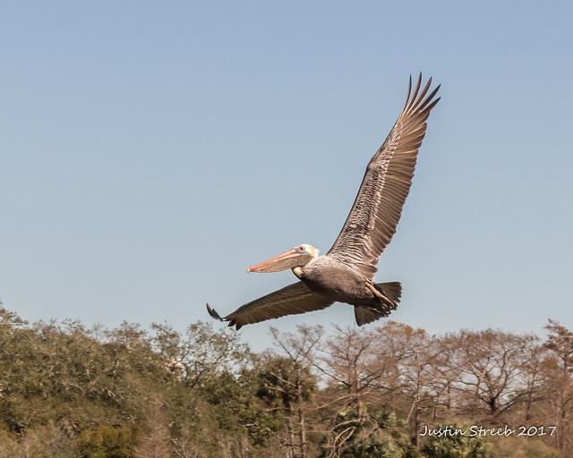 New Orleans Pelican_
