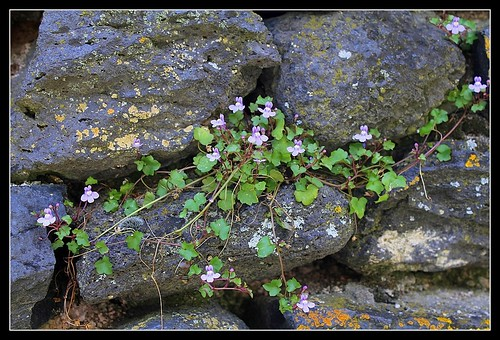 Cymbalaria muralis - linaire des murs, linaire cymbalaire 33358209794_62fde63ba5