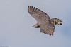 Southern Banded Snake Eagle (Circaetus fasciolatus) by Brendon White