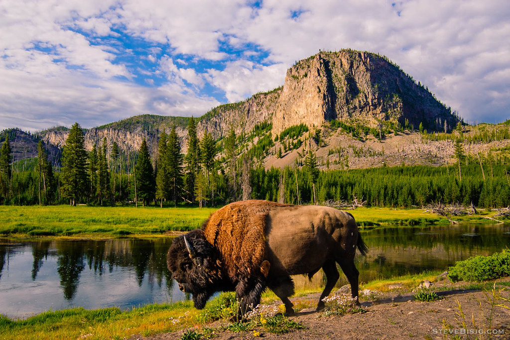 Image result for wyoming bison
