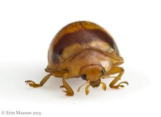 Belize lady beetle 2
