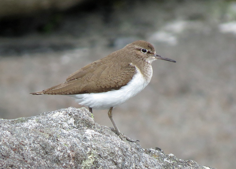Common Sandpiper - Actitis hypoleucos