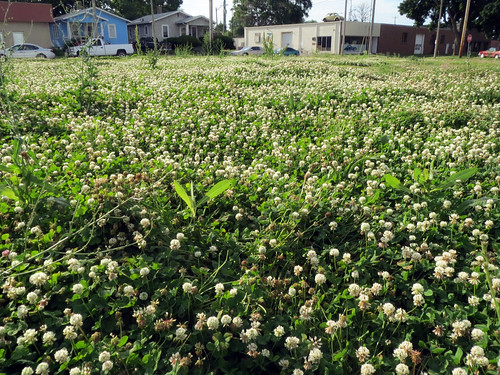Field of white clover | by benchilada