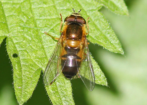 Hoverfly sp., by Peter Alfrey | by Beddington Farmlands