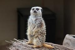 Atlanta Zoo - Meerkat