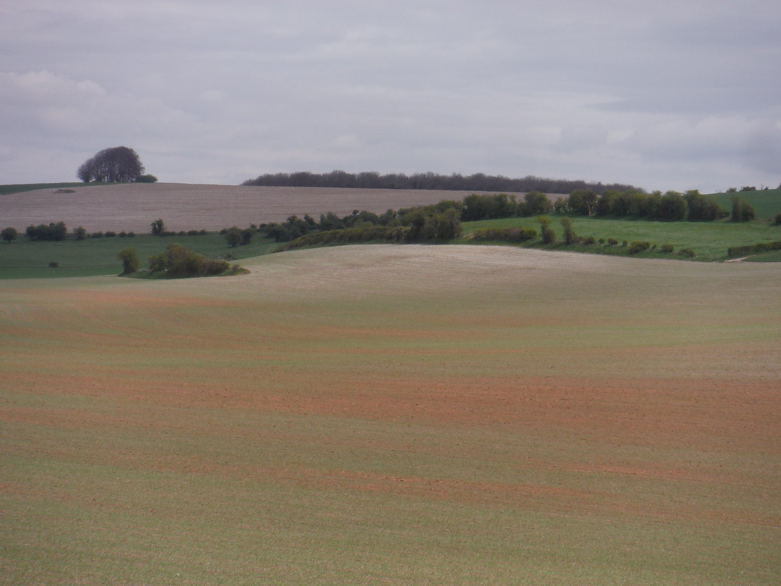 Young green growth on red soil, near Reeves Farm SWC Walk 286 Westbury to Warminster (via Imber Range)