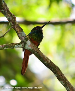 Galbula tombacea White-chinned jacamar  (Jacamar barbiblanco) | by mapalinabirdingtrails