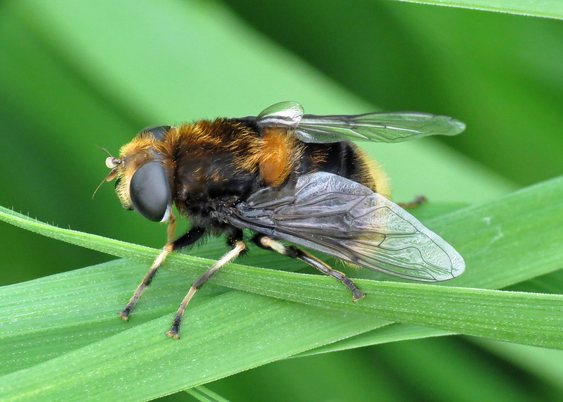 Hoverfly - Eristalis intricarius