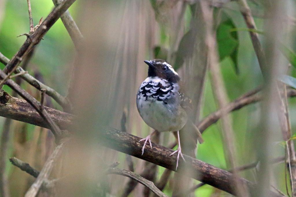 White-bibbed Antbird, REGUA, Brazil