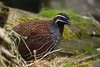Madagascan partridge (Margaroperdix madagascariensis) by tomaszix26