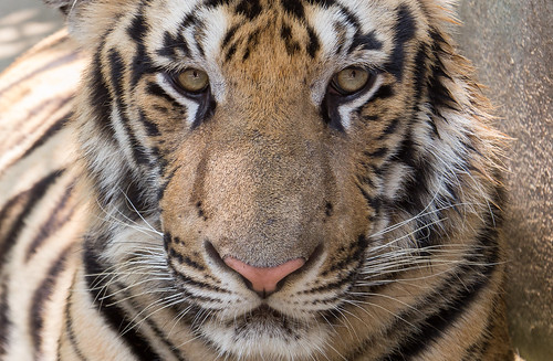 Eyes of the Tiger   by a300zx4pak