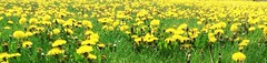 Dandelions #Dandelions Lawn covered with Dandelions