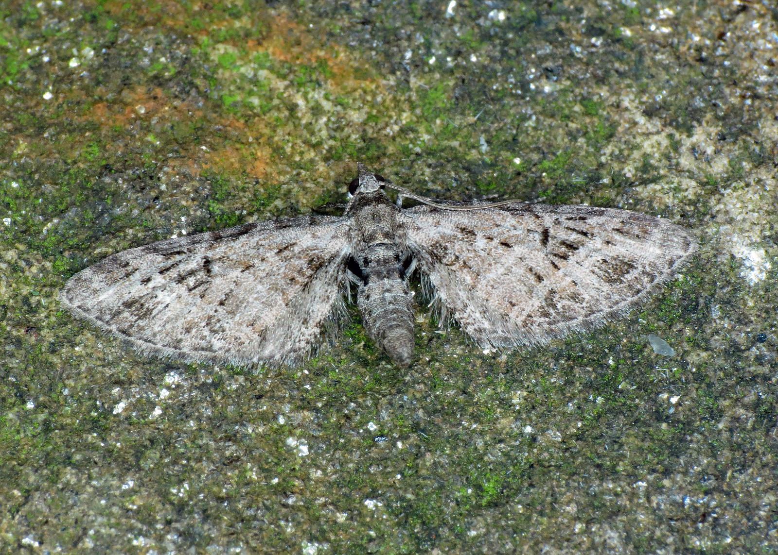 1819 Mottled Pug - Eupithecia exiguata