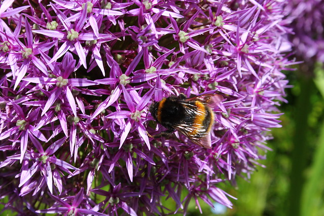 Busy Bee on the Allium