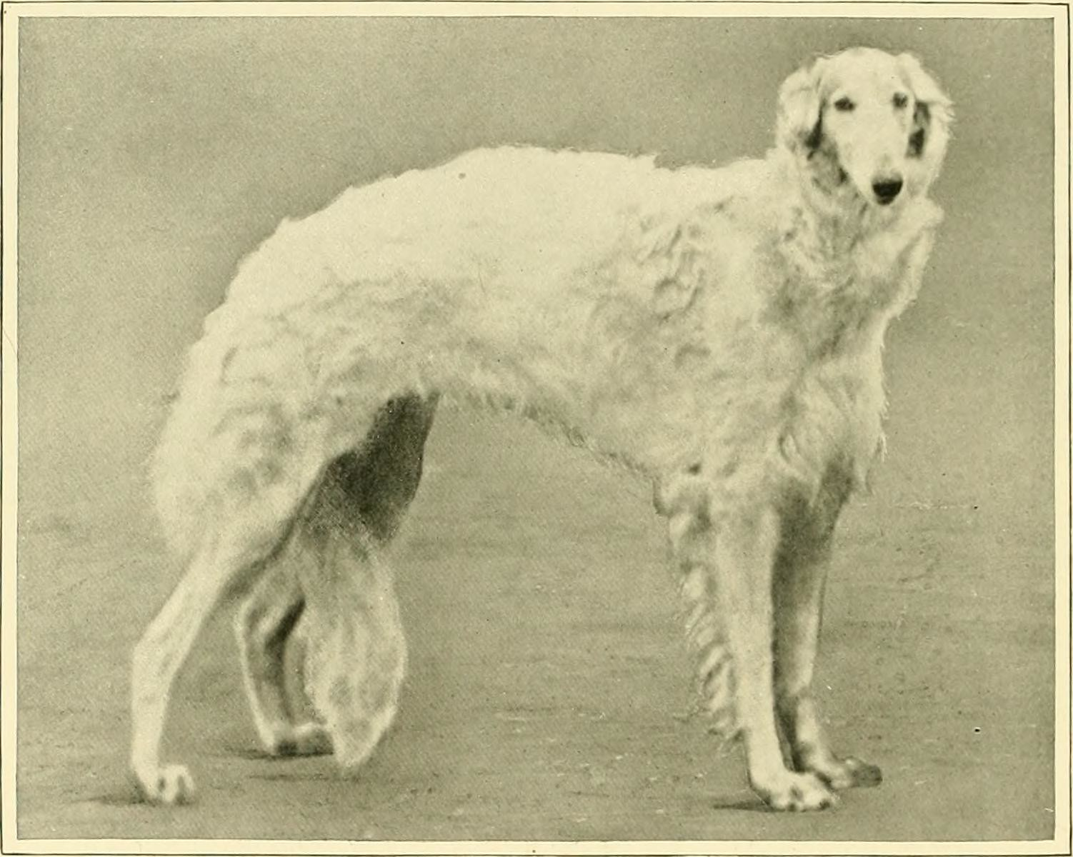 Borzoi - Dog Scanner