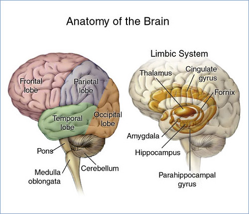 Image result for the limbic system