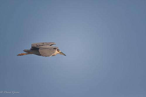 action background bird blaccrownednightheron closeup florida heron landscape orlandowetlands sunrise web wildlife christmas unitedstates us