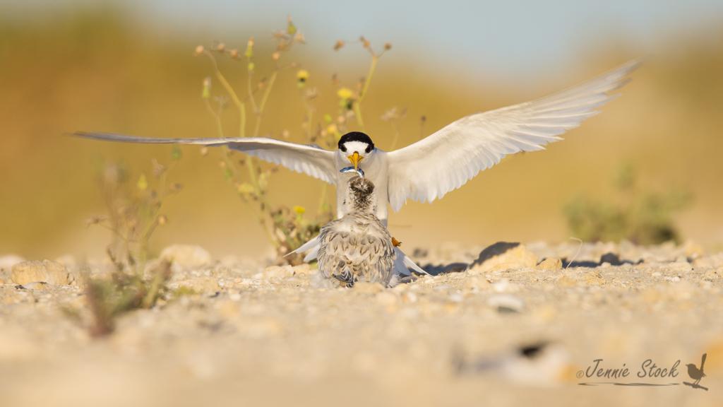 Fairy tern feeding chick