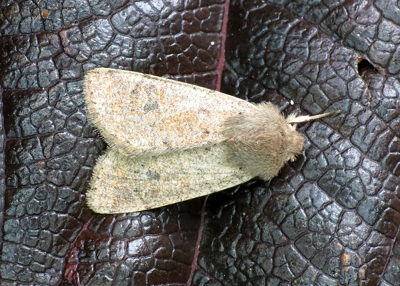 2182 Small Quaker - Orthosia cruda