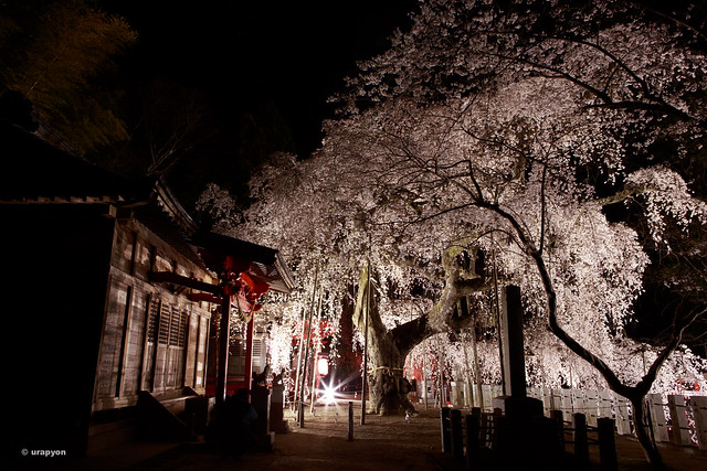 Nocturnal view of cherry blossoms on Suwa-Shrine 諏訪神社の夜桜