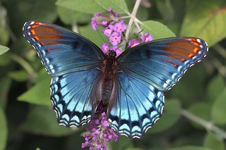 Red Spotted Purple   by DrPhotoMoto