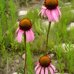 Thu, 05/29/2014 - 5:07pm - Echinacea-angustifolia-1a