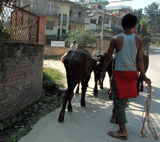 Young man with a light rope whip, herding buffalo near the river through the edge of Kathmandu, they seemed to know where they were headed, houses,  Kathmandu, Nepal