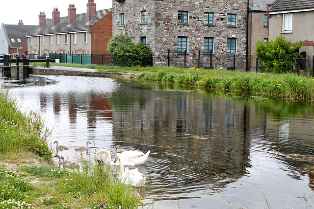 Royal Canal Swans