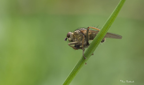 Drekvlieg, Dung fly | by ronwestbroek2