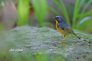2014.10.5 棕胸蓝姬鹟(Snowy-browed flycatcher)Ficedula hyperythra | by frieda6688