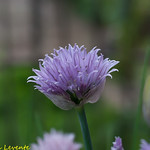 hagyma virág