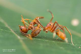 Ant-mimic crab spider (Amyciaea sp.) - DSC_1257
