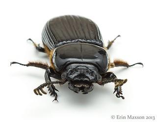 Bess Beetle 3