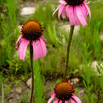 Thu, 05/01/2014 - 10:57am - Echinacea-angustifolia
