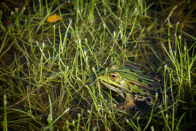 Frog takes a bath in the greenery - Grenouille prend son bain dans la verdure