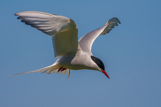 Arctic Tern | by Linton Snapper
