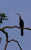African darter by string_bass_dave
