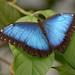Morfo Azul - Photo (c) matt6234, algunos derechos reservados (CC BY-ND)