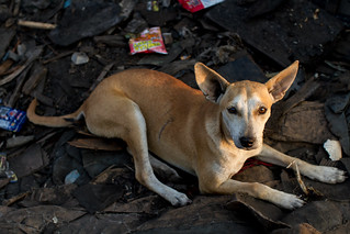 Tondo Landfill Dog | by AdamCohn
