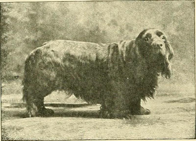 Sussex-spaniël - Dog Scanner